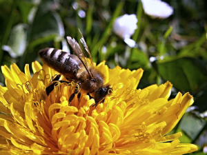 dandelion-and-bee